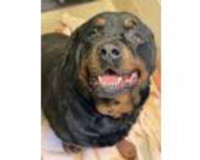 Adopt Titan a Black Rottweiler / Mixed dog in Newport News, VA (32105379)