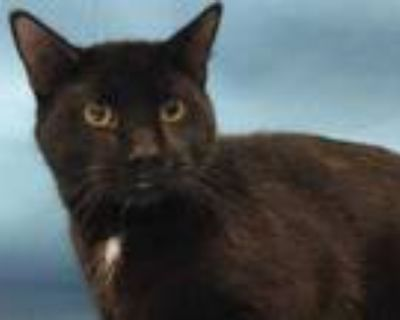 Adopt Mew Two a All Black Domestic Shorthair / Mixed cat in Woodbury