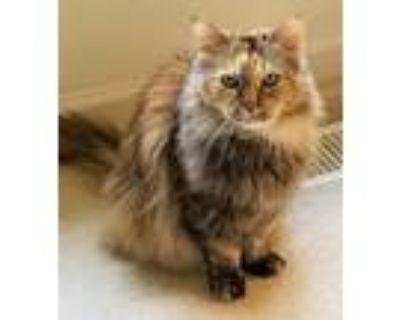 Adopt April a Tortoiseshell Domestic Longhair (long coat) cat in Oswego