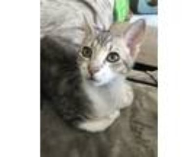Adopt Rhonda Richardson a Tan or Fawn Tabby American Shorthair / Mixed (short