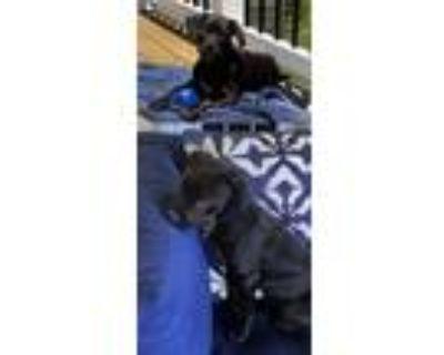 Adopt Mindi's Allie a Labrador Retriever / Mixed dog in Chantilly, VA (31354623)