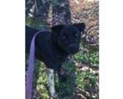 Adopt Kona a Black Labrador Retriever / Mixed dog in Lincolnton, NC (31512562)