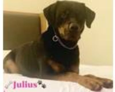 Adopt Julius a Black - with Tan, Yellow or Fawn Rottweiler / Mixed dog in