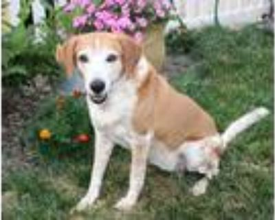 Adopt Chloe Renee - Fostered in Council Bluffs, IA a Beagle