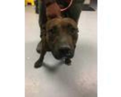 Adopt 48215540 a Brindle American Pit Bull Terrier / Mixed dog in Los Lunas