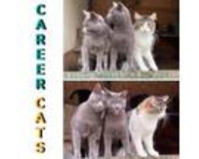 Adopt Barn Cats Available a Domestic Short Hair