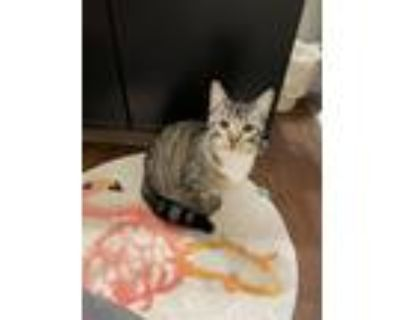 Adopt Tiger Lily a Tiger Striped American Shorthair / Mixed cat in Kansas City
