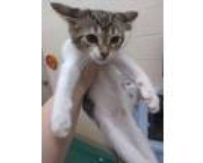 Adopt Belle -$25 a American Shorthair, Domestic Short Hair