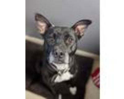 Adopt Tiny a Black - with White American Pit Bull Terrier / American