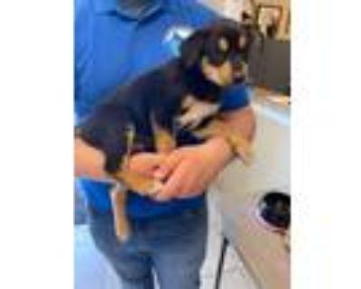 Adopt Puppy #3 a Doberman Pinscher, Husky