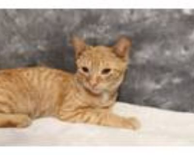 Adopt French Toast - Reduced a Domestic Short Hair, Tabby