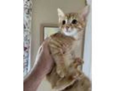 Adopt Yankee a Orange or Red Domestic Shorthair / Domestic Shorthair / Mixed cat