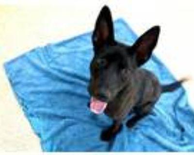 Adopt RAVEN a Black Labrador Retriever / German Shepherd Dog / Mixed dog in