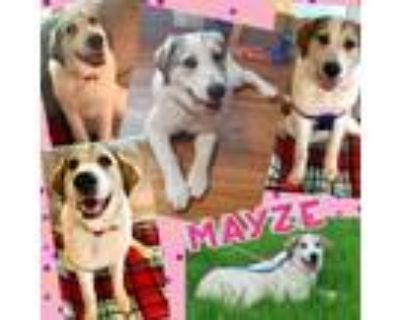 Adopt Mayze a White - with Tan, Yellow or Fawn Great Pyrenees / Mixed dog in El