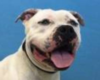 Adopt Kino a White American Pit Bull Terrier / Mixed dog in Woodbury