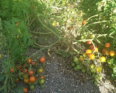 Tomatoes for free