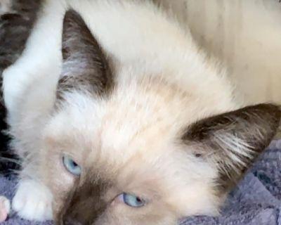 Skipper - Domestic Shorthair/Siamese - Kitten Male