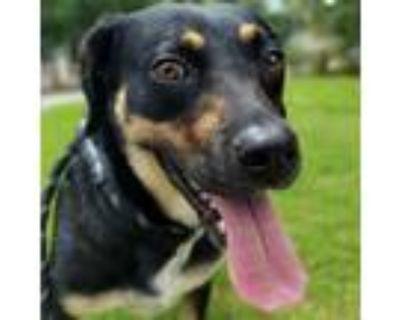 Adopt Stella a Beagle