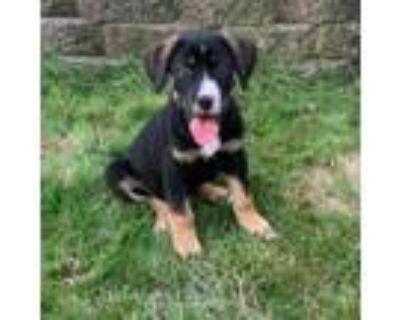 Adopt Caleb a Beagle, Mixed Breed