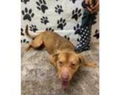 Adopt COPPER a Brown/Chocolate - with White American Pit Bull Terrier / Mixed