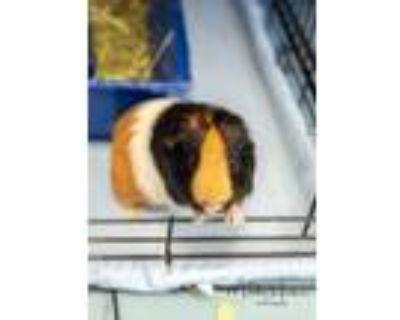 Adopt Wiggy a Guinea Pig