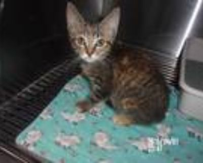 Adopt Sara a Tiger Striped Domestic Shorthair (short coat) cat in Troy