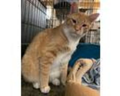 Tigger 1, Domestic Shorthair For Adoption In Amarillo, Texas