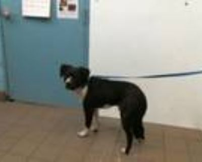 Adopt LINK a Border Collie, Labrador Retriever