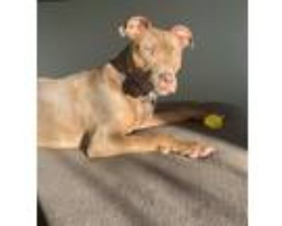 Adopt Quila a Brown/Chocolate - with White Belgian Malinois / American Pit Bull