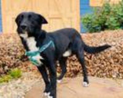 Adopt Shep a Black Labrador Retriever, Border Collie