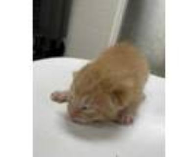 Adopt Kitten 3 a Orange or Red Domestic Shorthair / Domestic Shorthair / Mixed