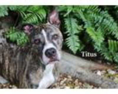 Adopt TITUS a Brindle American Pit Bull Terrier / Mixed dog in Fort Myers