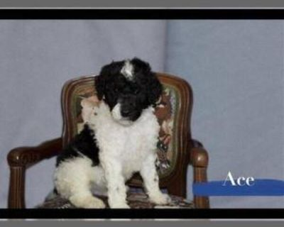 AKC REGISTERED STANDARD POODLE PUPPIES