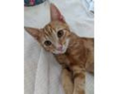 Adopt Patrick a Domestic Shorthair cat in Denver, CO (31989956)