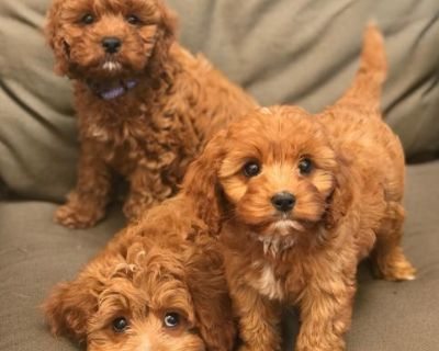 Toy Poodle puppies available for adoption