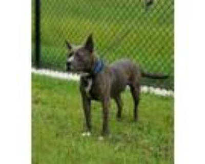 Adopt Jameson (aka Chase) a Pit Bull Terrier