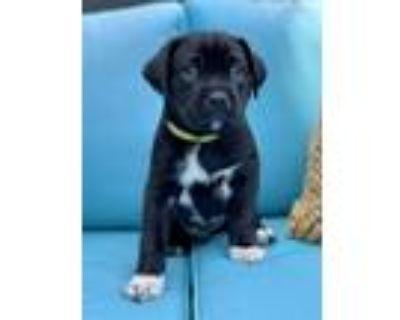 Adopt Simon a Black - with White Pit Bull Terrier / Labrador Retriever / Mixed