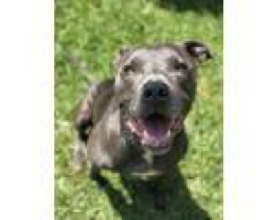 Adopt Rhino a Gray/Silver/Salt & Pepper - with White American Pit Bull Terrier /