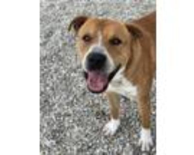 Adopt VICK a Brown/Chocolate - with White Boxer / Mixed dog in Lincolnton