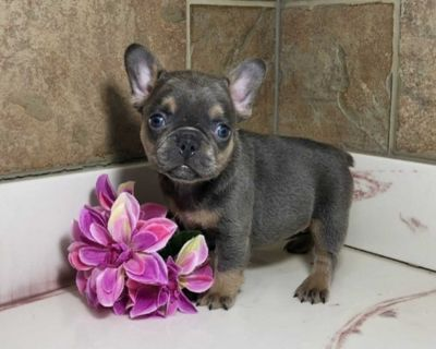 clever French bulldog puppies ready