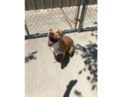 Adopt Tina a Pit Bull Terrier