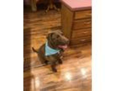 Adopt Buster Brown a Chocolate Labrador Retriever