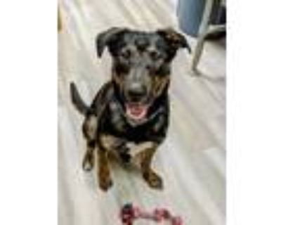 Adopt 50 Cent a Black - with Brown, Red, Golden, Orange or Chestnut Mixed Breed
