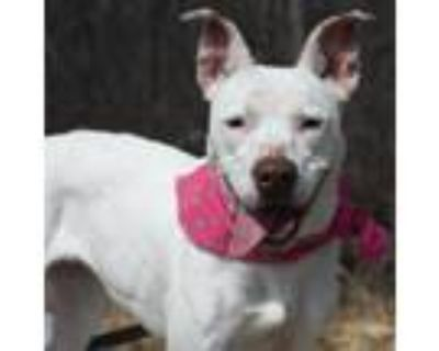 Adopt Sprinkles a Pit Bull Terrier