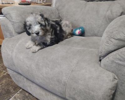 Mini labradoodle puppies Dob 7...