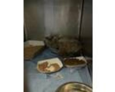Adopt Jesse a Brown Tabby Siamese / Mixed cat in El Paso, TX (31563609)