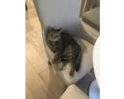 Adopt Lena a Tiger Striped Ocicat / Mixed (medium coat) cat in Kennesaw
