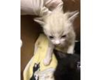 Adopt *SNOBALL a White (Mostly) Domestic Shorthair / Mixed (short coat) cat in