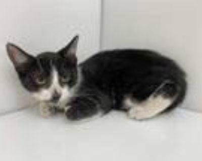 Adopt Aqua a All Black Domestic Shorthair / Mixed cat in Boulder, CO (31637525)