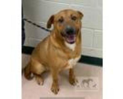 Adopt SARGE a Brown/Chocolate German Shepherd Dog / Mixed dog in Chicago Ridge